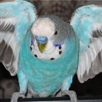 Попугайчики: цвета, породы, повадки и привычки