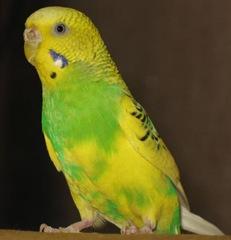 Попугай - 2