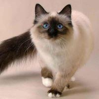 Сколько лет могут прожить домашние кошки?